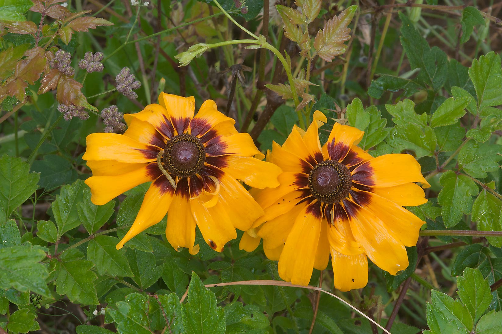 Mature black eyed susan flowers in Lick Creek Park. College Station, Texas