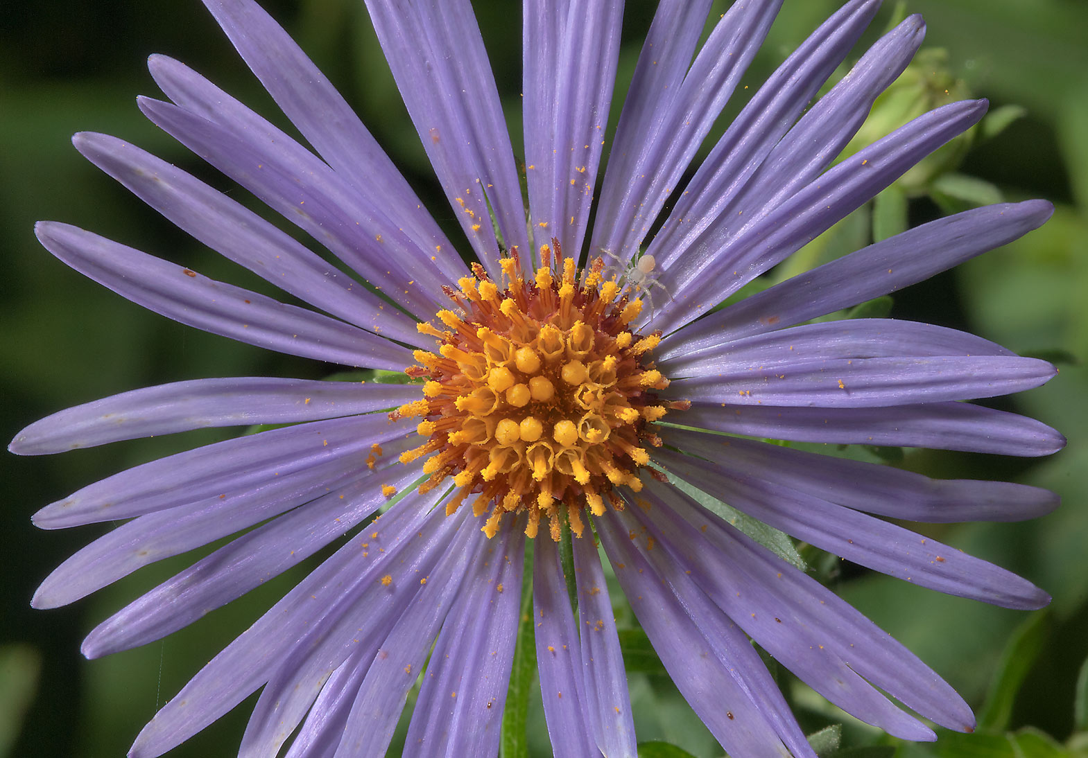 Blue aster in Antique Rose Emporium. Independence, Texas