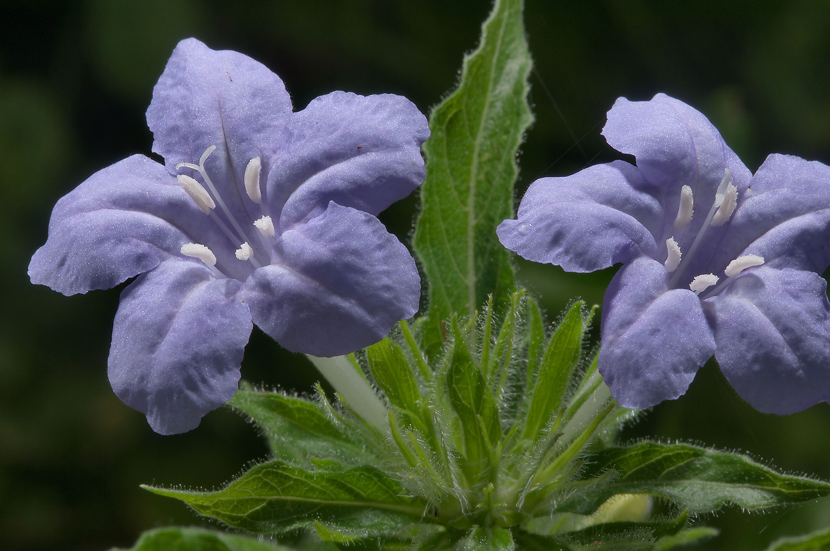Wild petunia (Ruellia) in Mercer Arboretum and...Gardens. Humble (Houston area), Texas