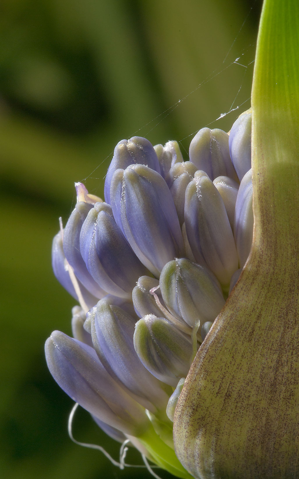 Buds of blue lily in Mercer Arboretum and Botanical Gardens. Humble (Houston area), Texas
