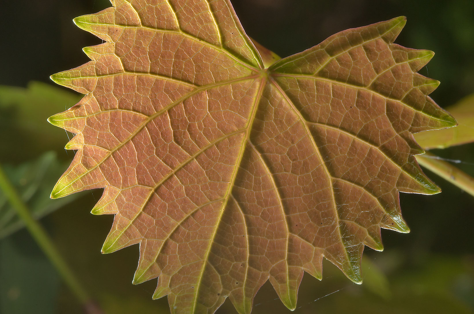 Back lit leaf of Muscadine Grape (Vitis...Gardens. Humble (Houston area), Texas
