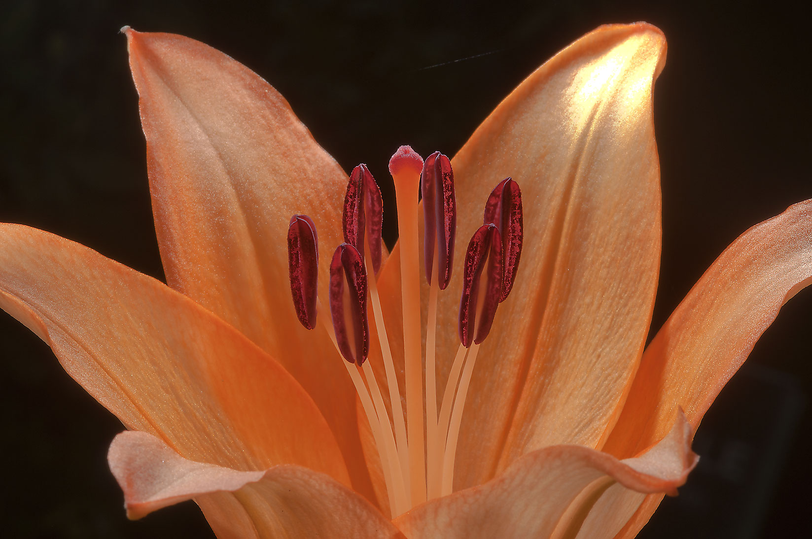 Orange lily in Mercer Arboretum and Botanical Gardens. Humble (Houston area), Texas