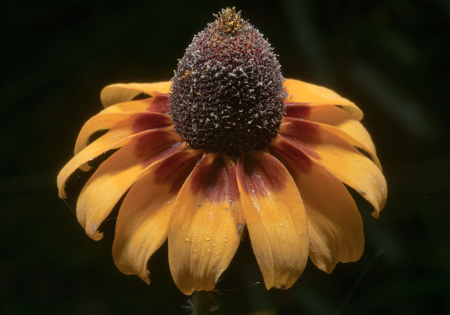 Flower of black-eyed susan in Lick Creek Park. College Station, Texas