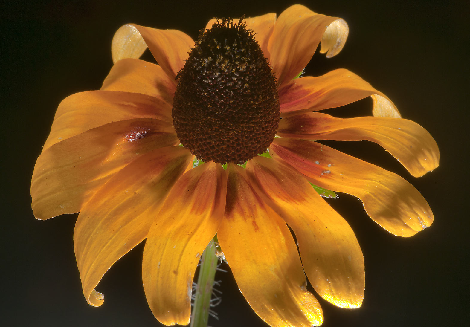 Back lit flower of black-eyed susan (Rudbeckia...Creek Park. College Station, Texas