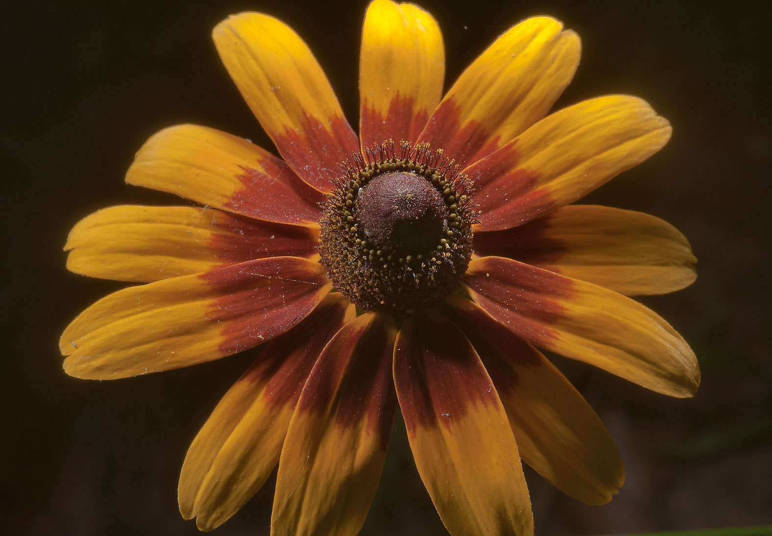 Orange flower of black-eyed susan (Rudbeckia...Creek Park. College Station, Texas