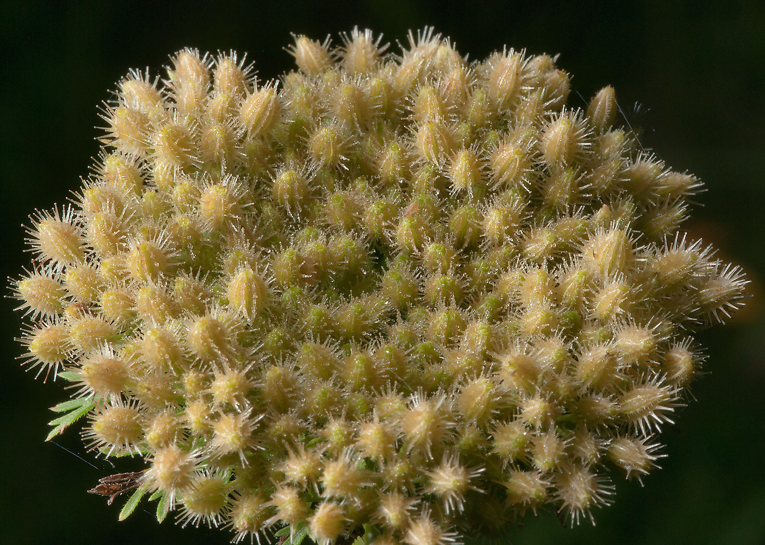Seed head of wild carrot (Daucus pusillus) in Lick Creek Park. College Station, Texas