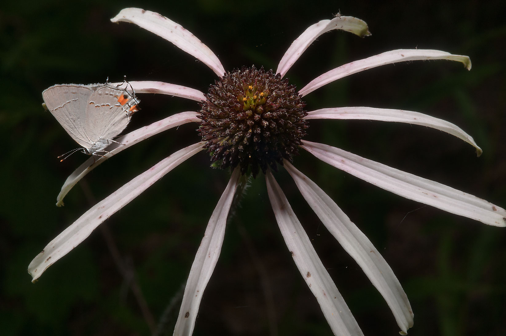 Handeless coneflower (Echinacea sanguinea) with...National Forest. Richards, Texas