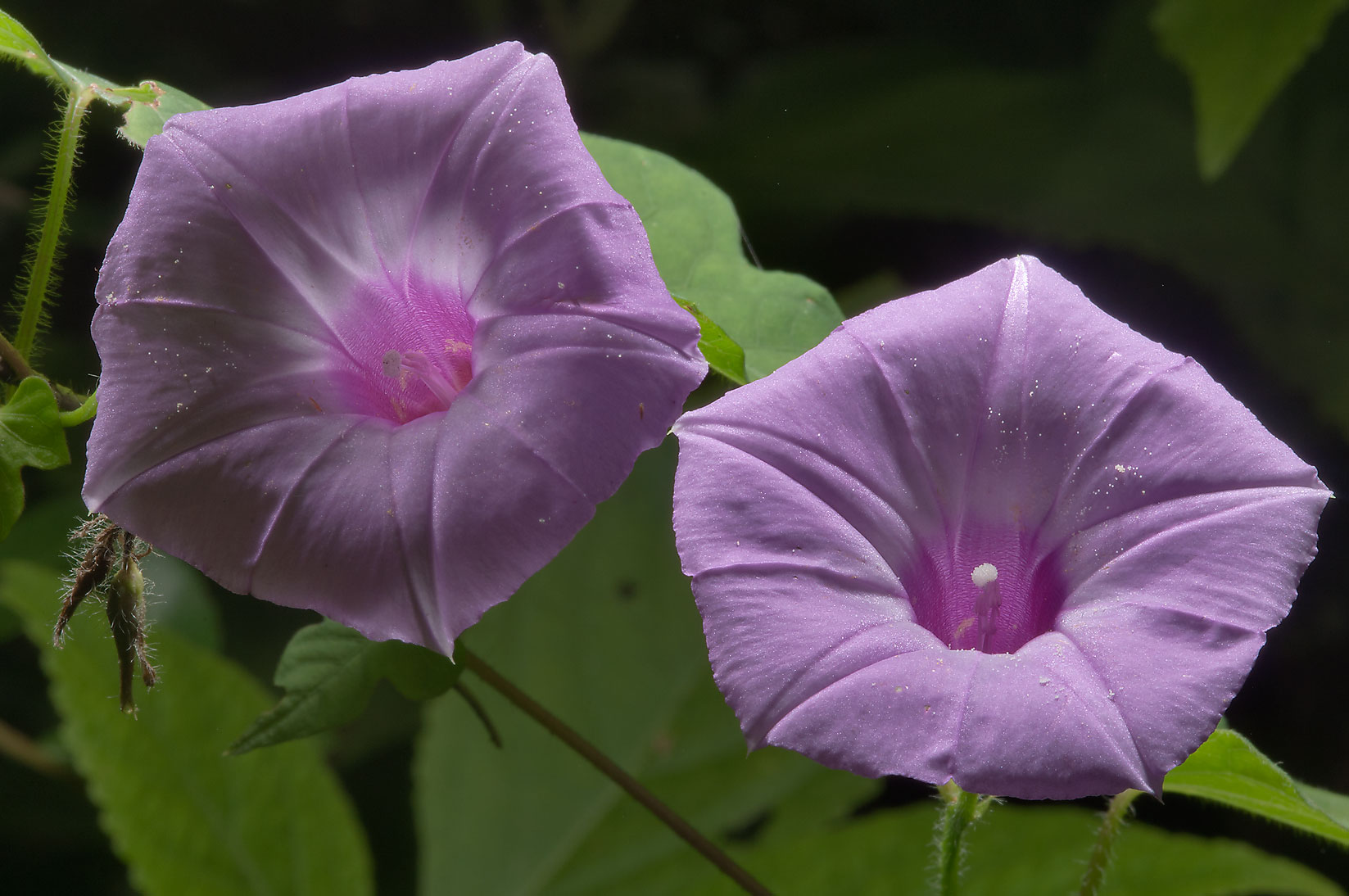 Ipomoea cordatotriloba (Morning Glory) in Little...National Forest. Richards, Texas