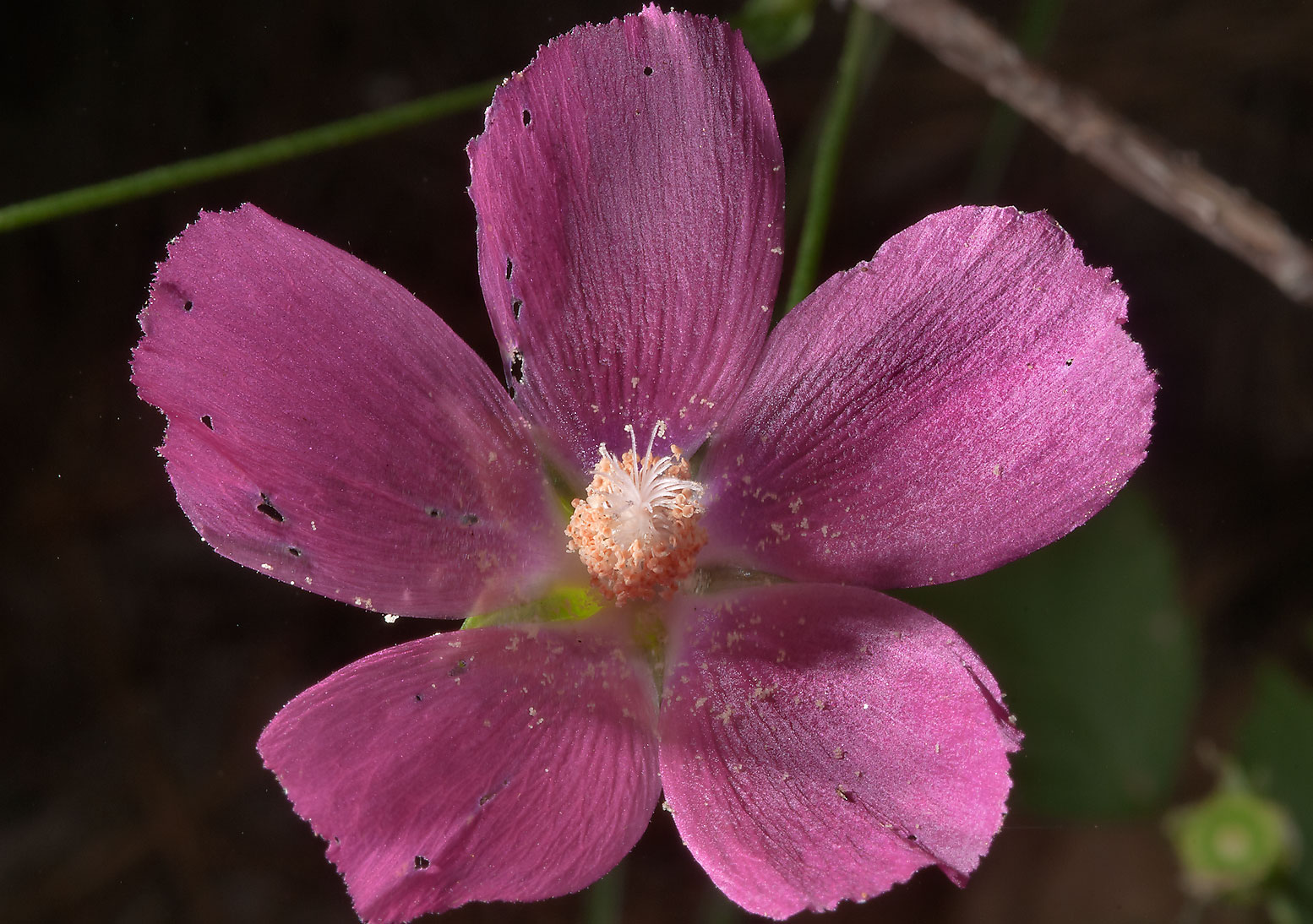 Winecup flower (Callirhoe) in Little Lake Creek...National Forest. Richards, Texas