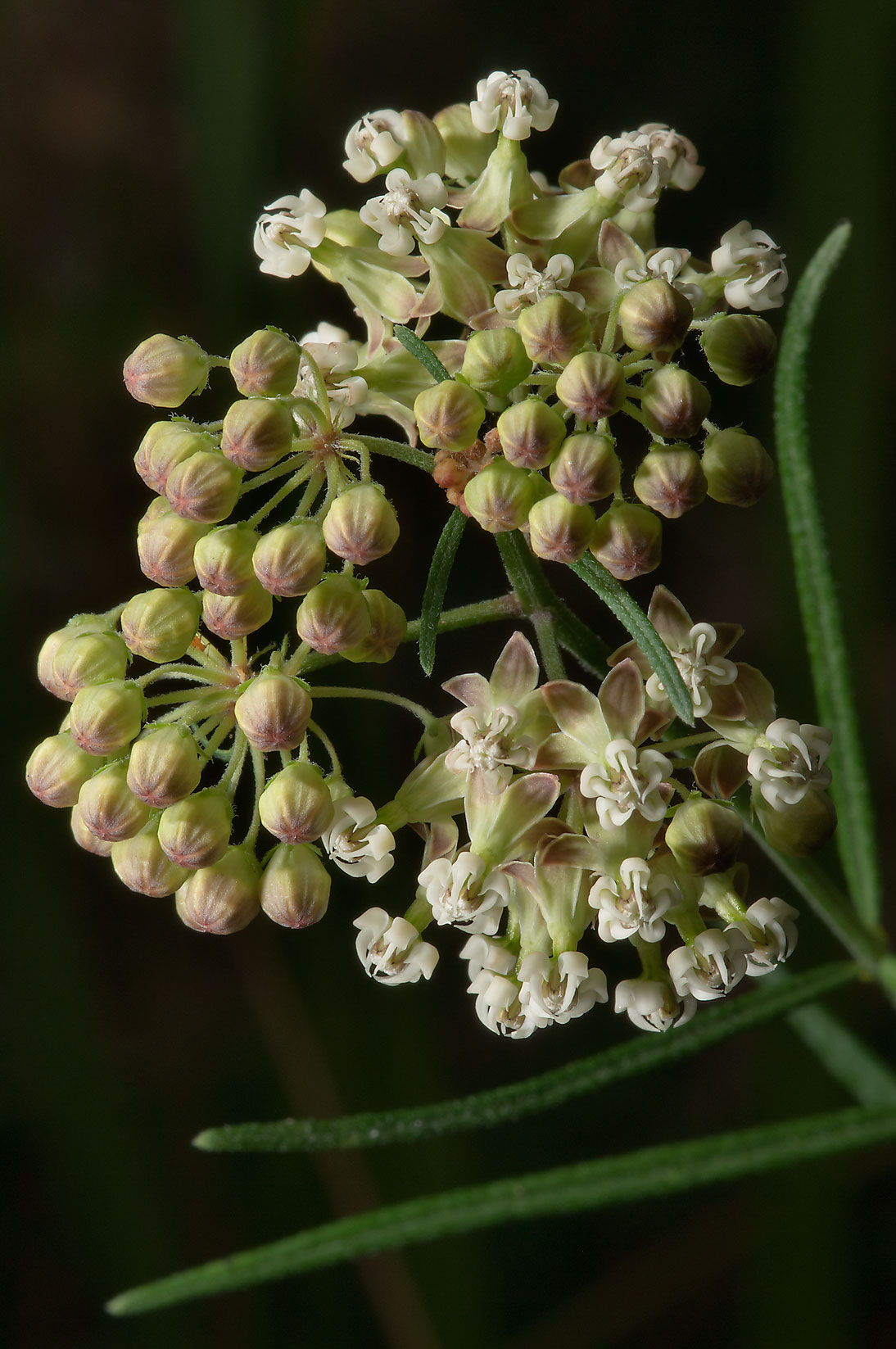 Whorled milkweed (Asclepias verticillata ) in...National Forest. Richards, Texas