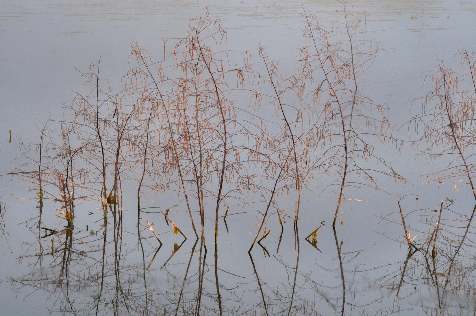 Last year rattlebush in a pond in Washington-on...State Historic Site. Washington, Texas