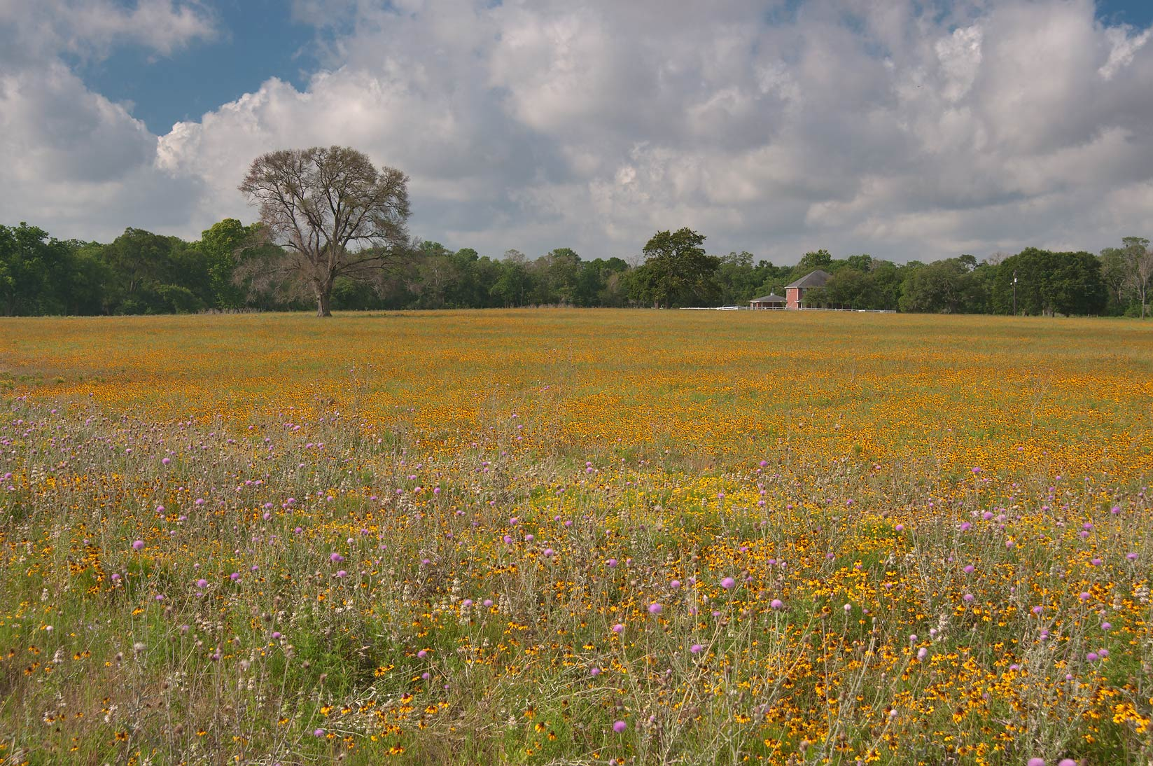Field of yellow flowers from Rd. 159 near Millican. Texas