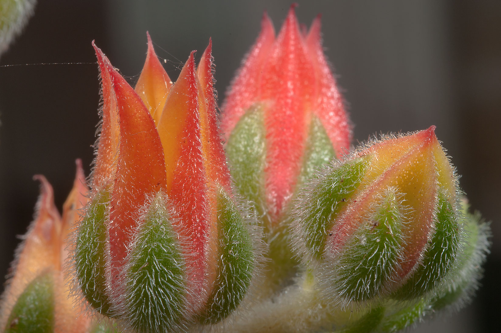 Orange flowers of succulent echeveria in TAMU...M University. College Station, Texas