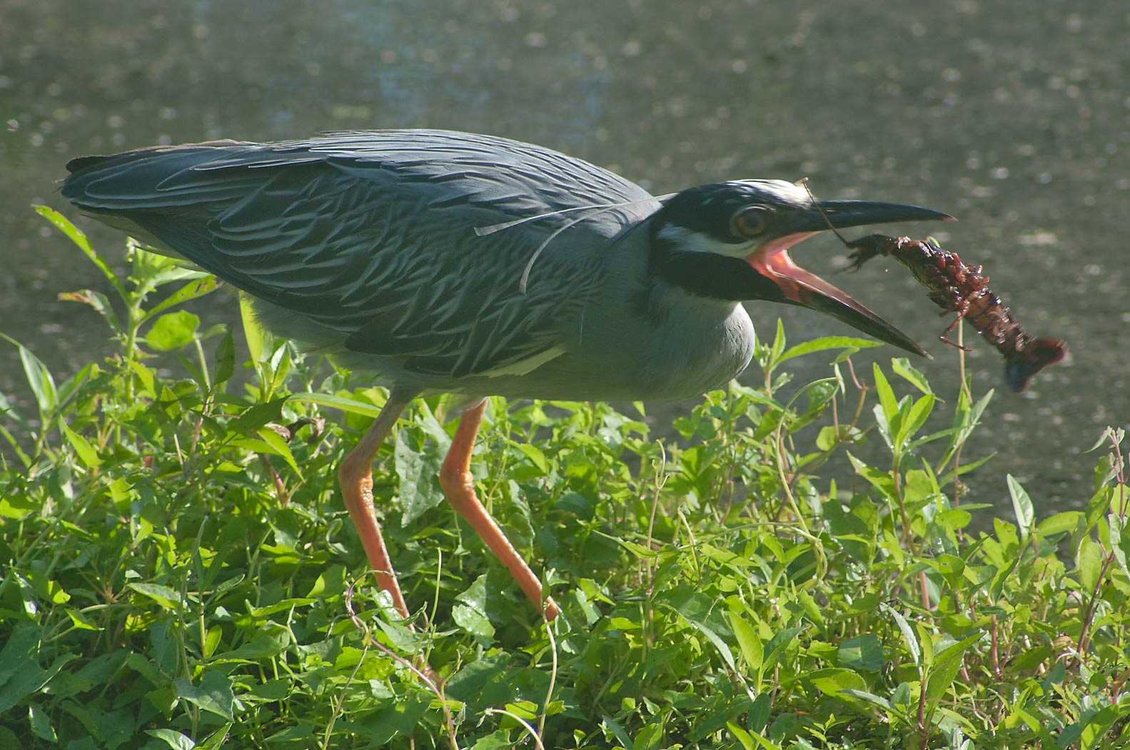 Yellow-crowned night-heron bird eating a shrimp...Bend State Park. Needville, Texas
