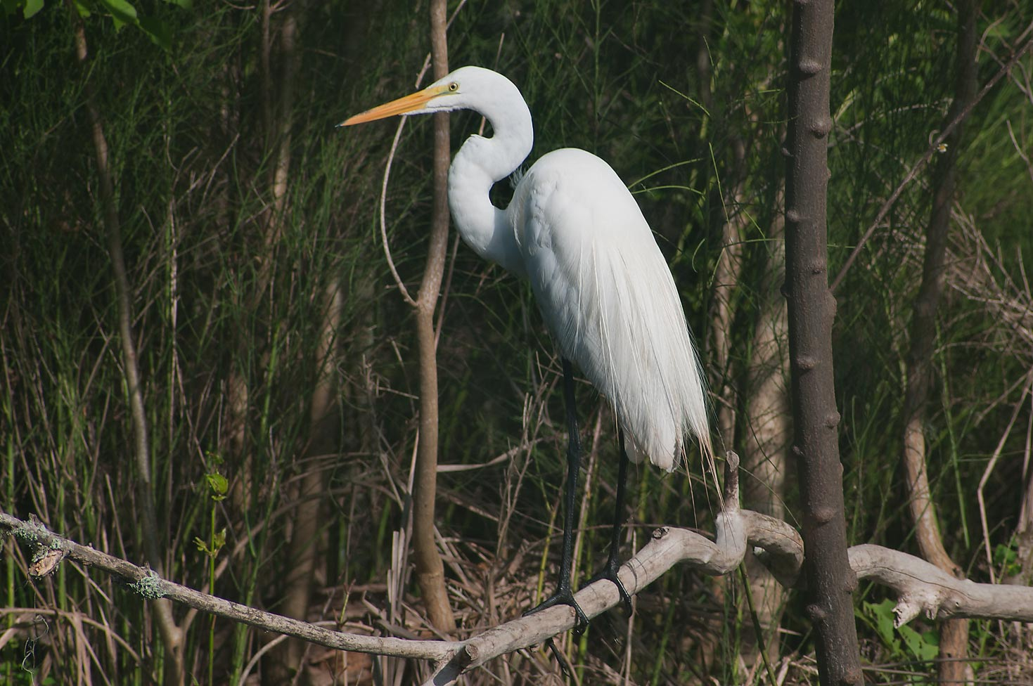 Great white egret (Ardea alba) bird in Brazos Bend State Park. Needville, Texas