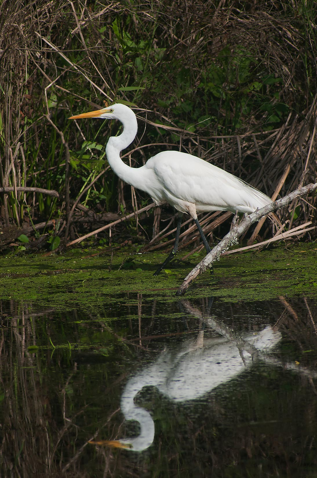 Great white egret (Ardea alba) bird in marsh in Brazos Bend State Park. Needville, Texas