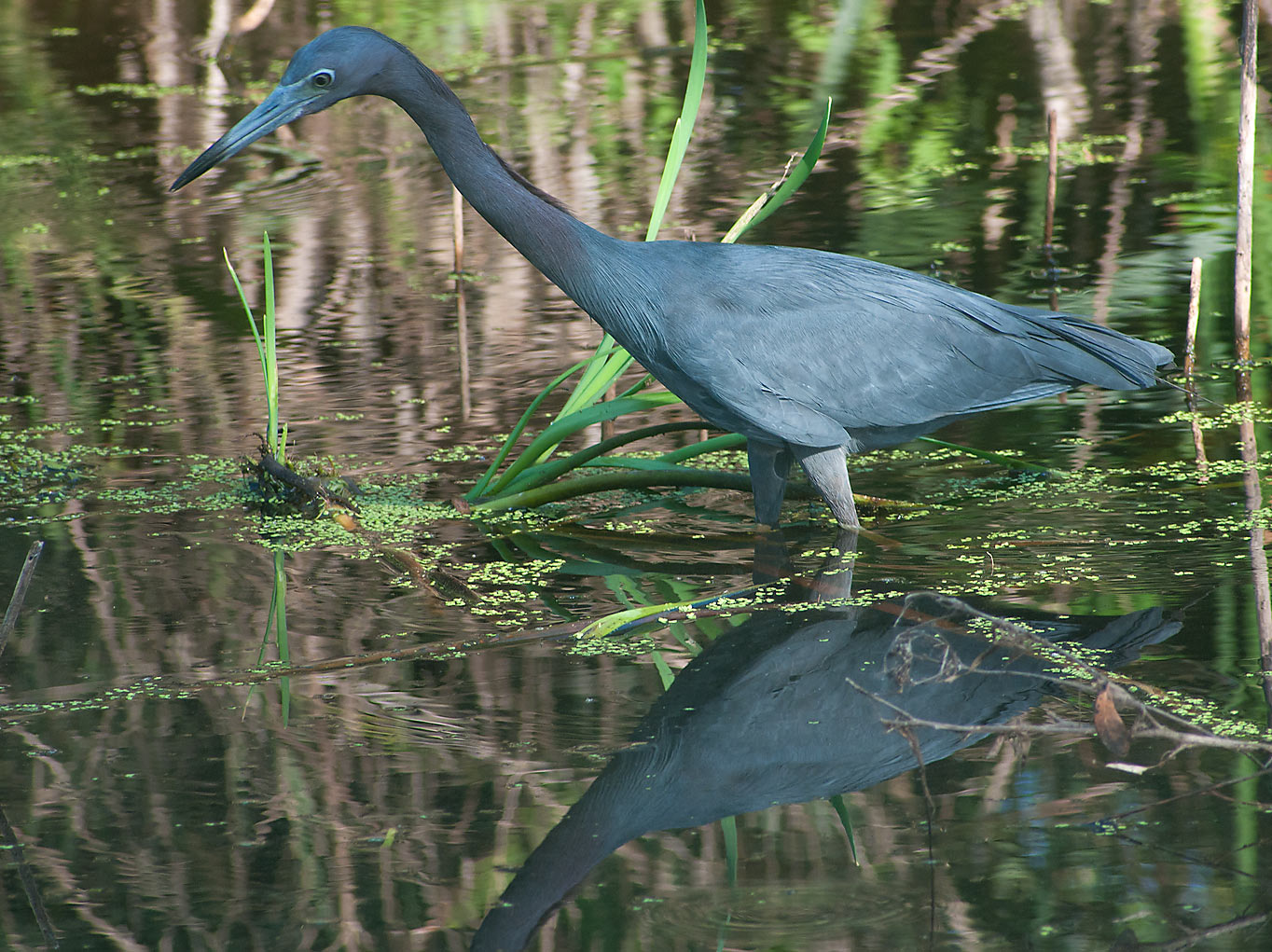 Great blue heron bird in Brazos Bend State Park. Needville, Texas