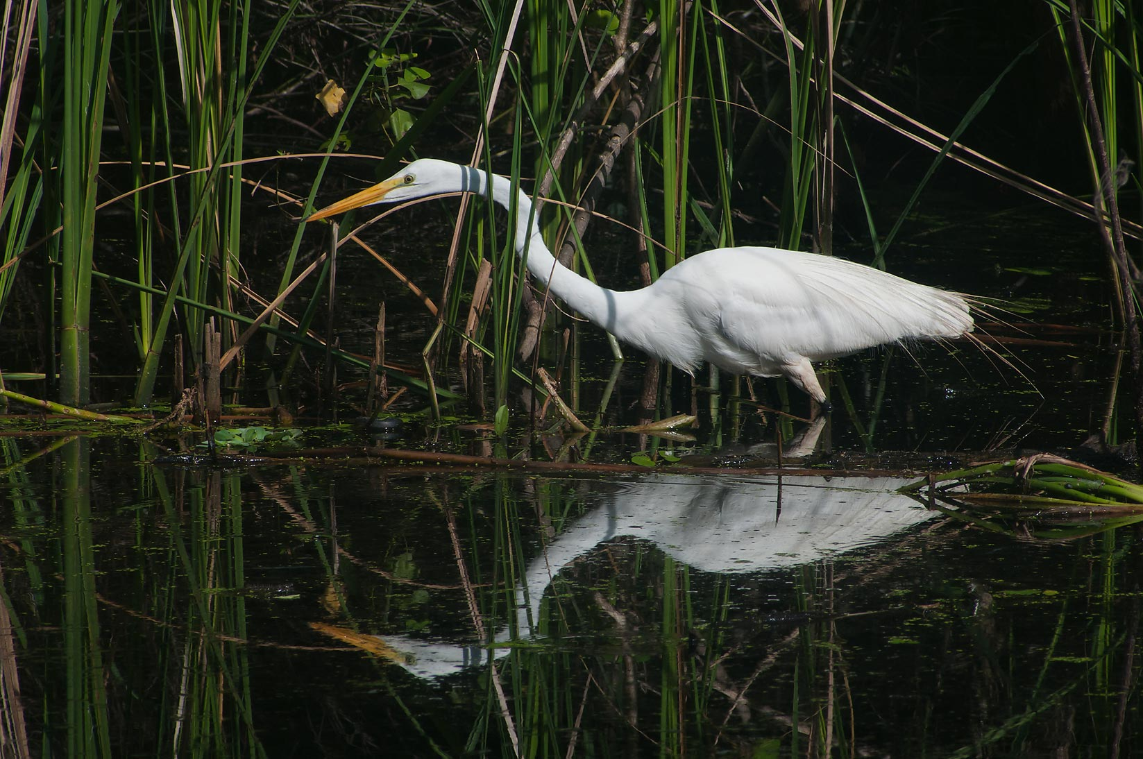 Hunting great white egret (Ardea alba) bird in Brazos Bend State Park. Needville, Texas