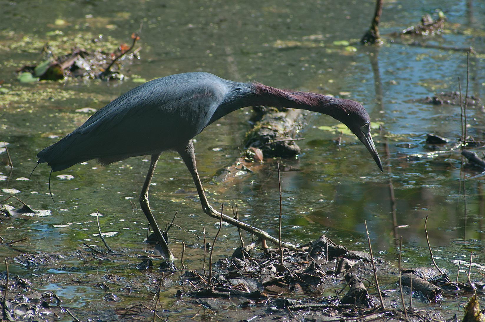 Little blue heron looking for shrimp in Brazos Bend State Park. Needville, Texas