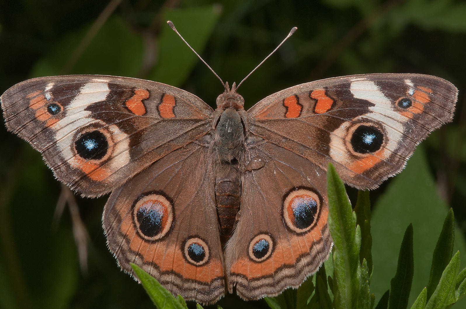 Common buckeye butterfly in Lake Bryan Park. Bryan, Texas