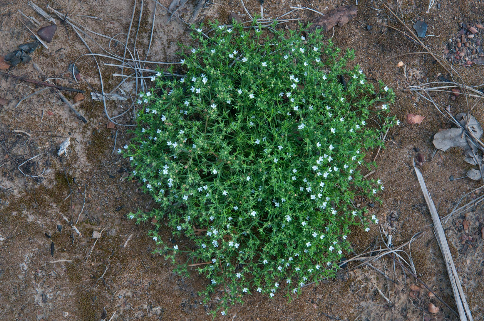 Green carpetweed (Mollugo verticillata) near Lost...in Bastrop State Park. Bastrop, Texas