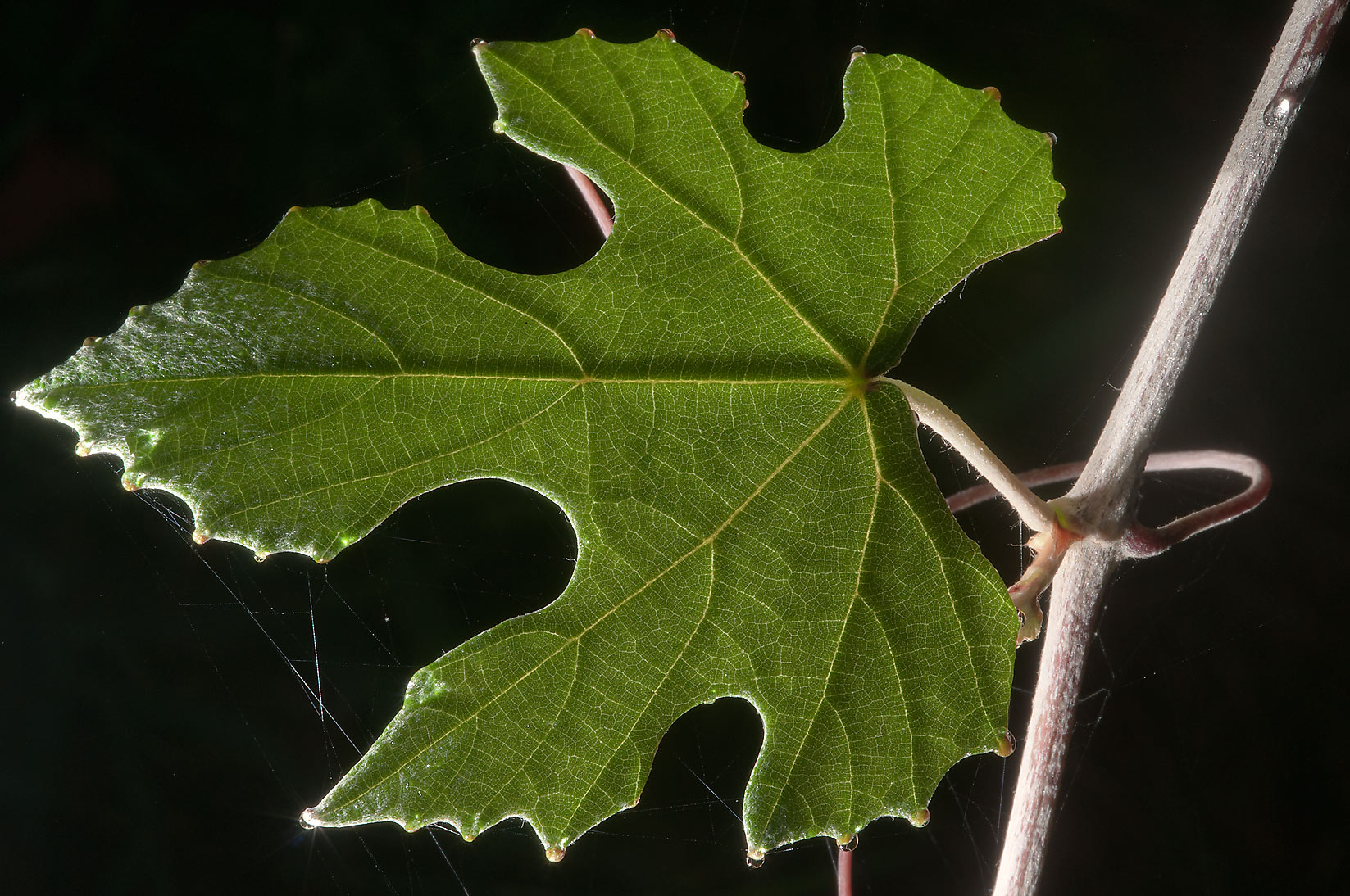 Leaf of mustang grape in Lick Creek Park. College Station, Texas
