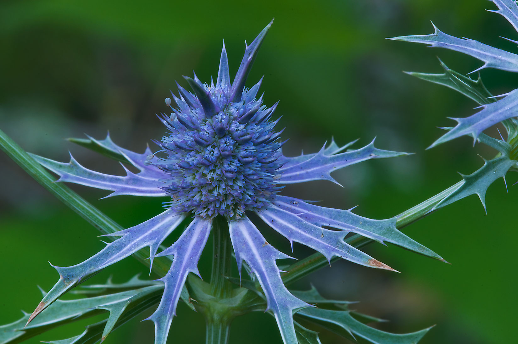 Hooker's eryngo (Eryngium hookeri) in Lick Creek Park. College Station, Texas