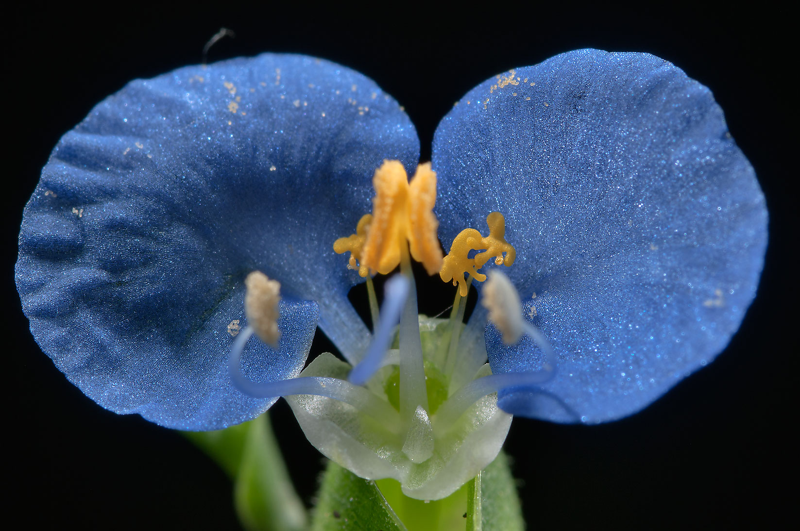 Small Dayflower (Commelina) taken from a lawn...Bush Dr.. College Station, Texas