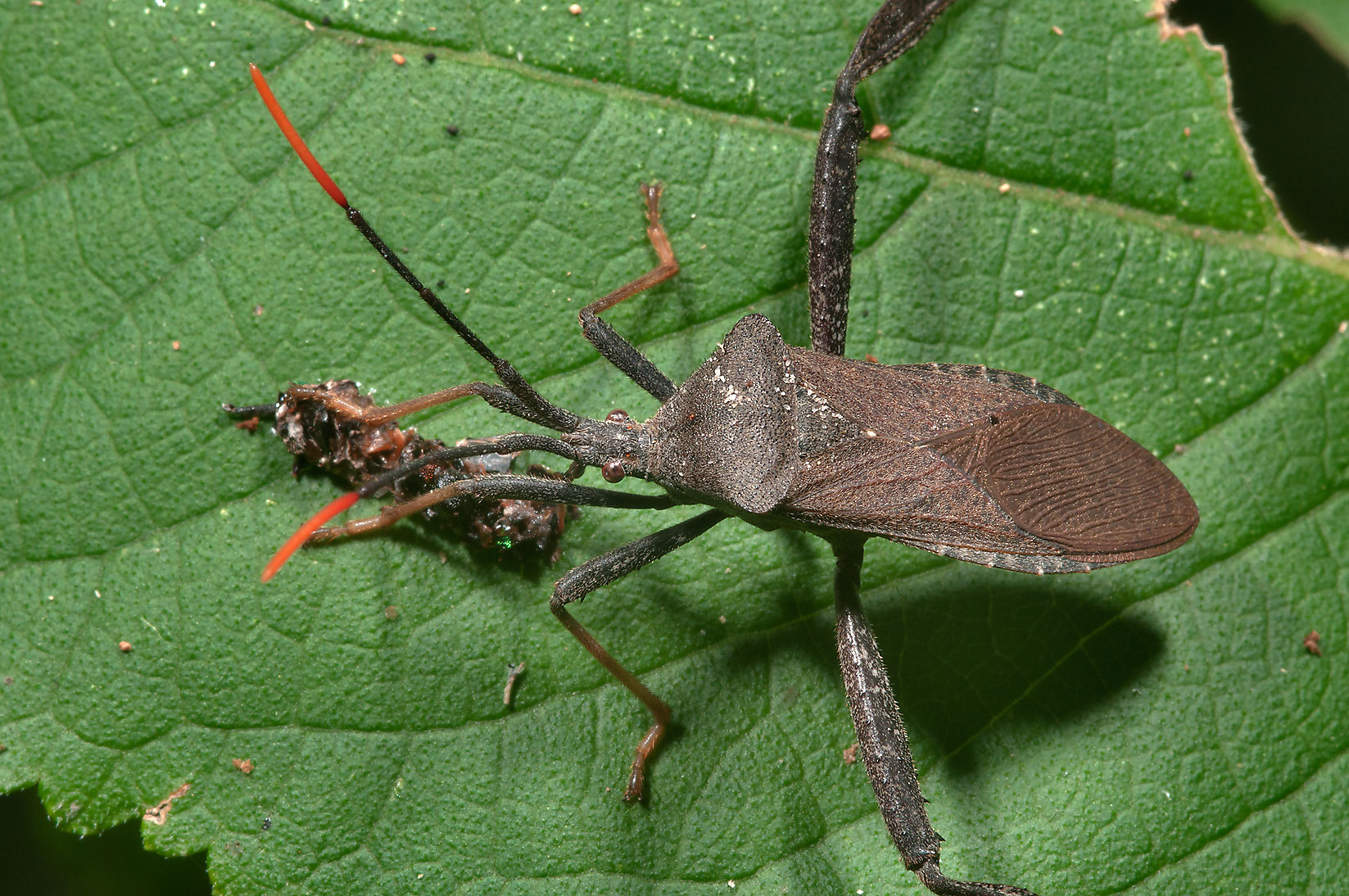 Leaf footed bug eating some brown stuff in Lick Creek Park. College Station, Texas