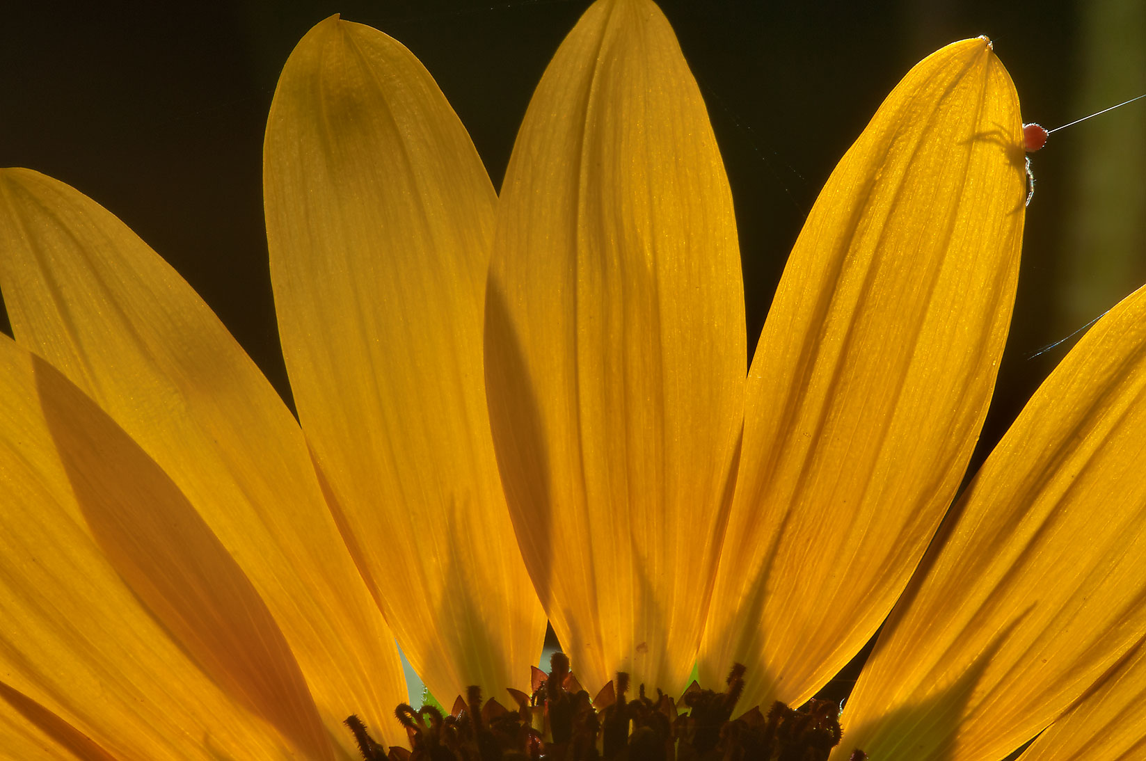Back lit petals of sunflower (Helianthus) in TAMU...M University. College Station, Texas