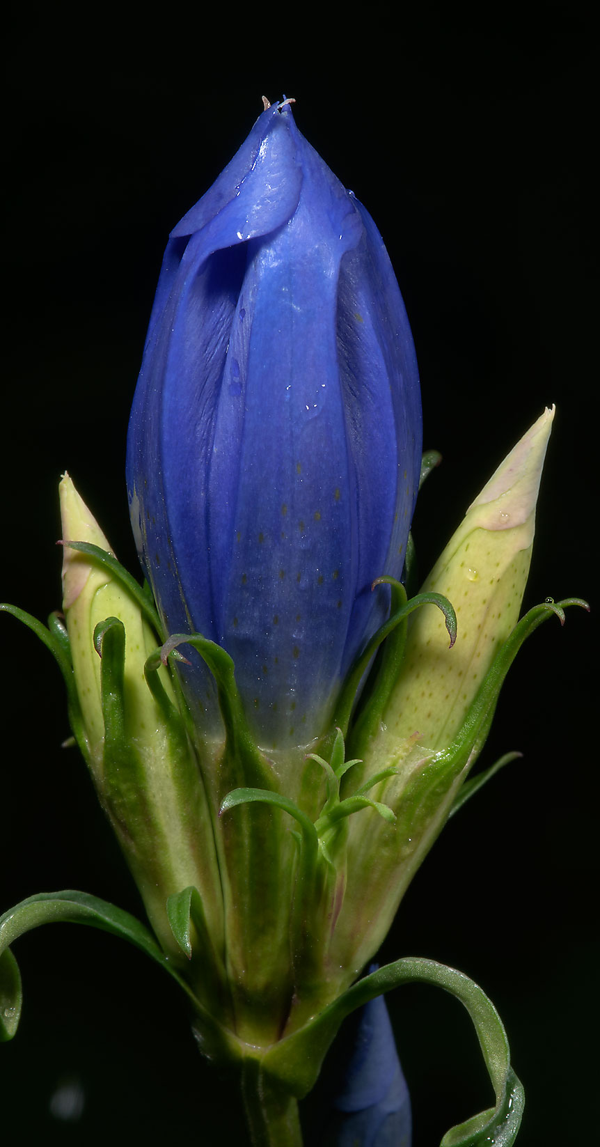 Gentian flower in Botanic Gardens of Komarov Botanical Institute. St.Petersburg, Russia