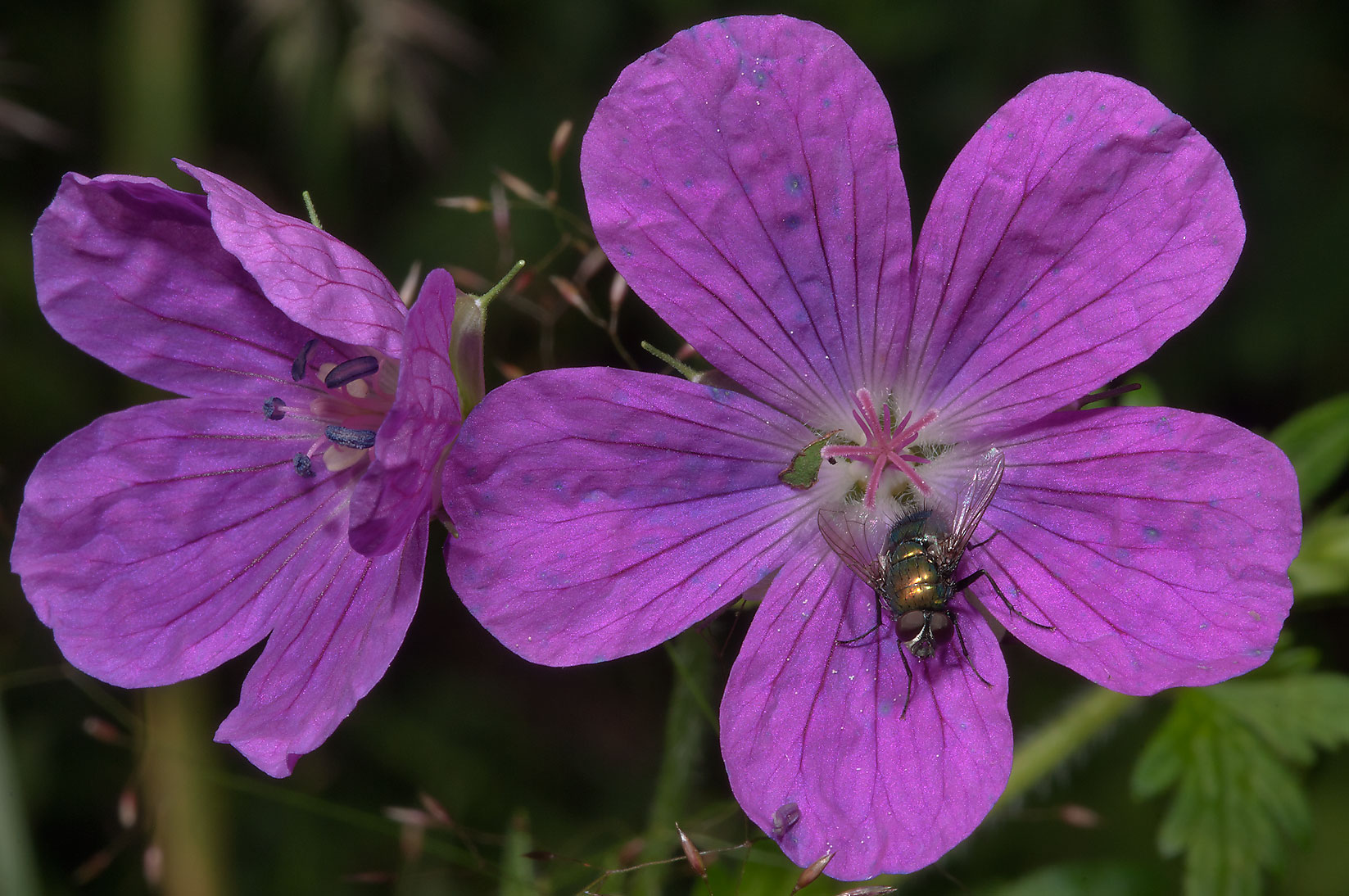 A fly on wood cranesbill (Geranium sylvaticum) in...from Deviatkino. St.Petersburg, Russia