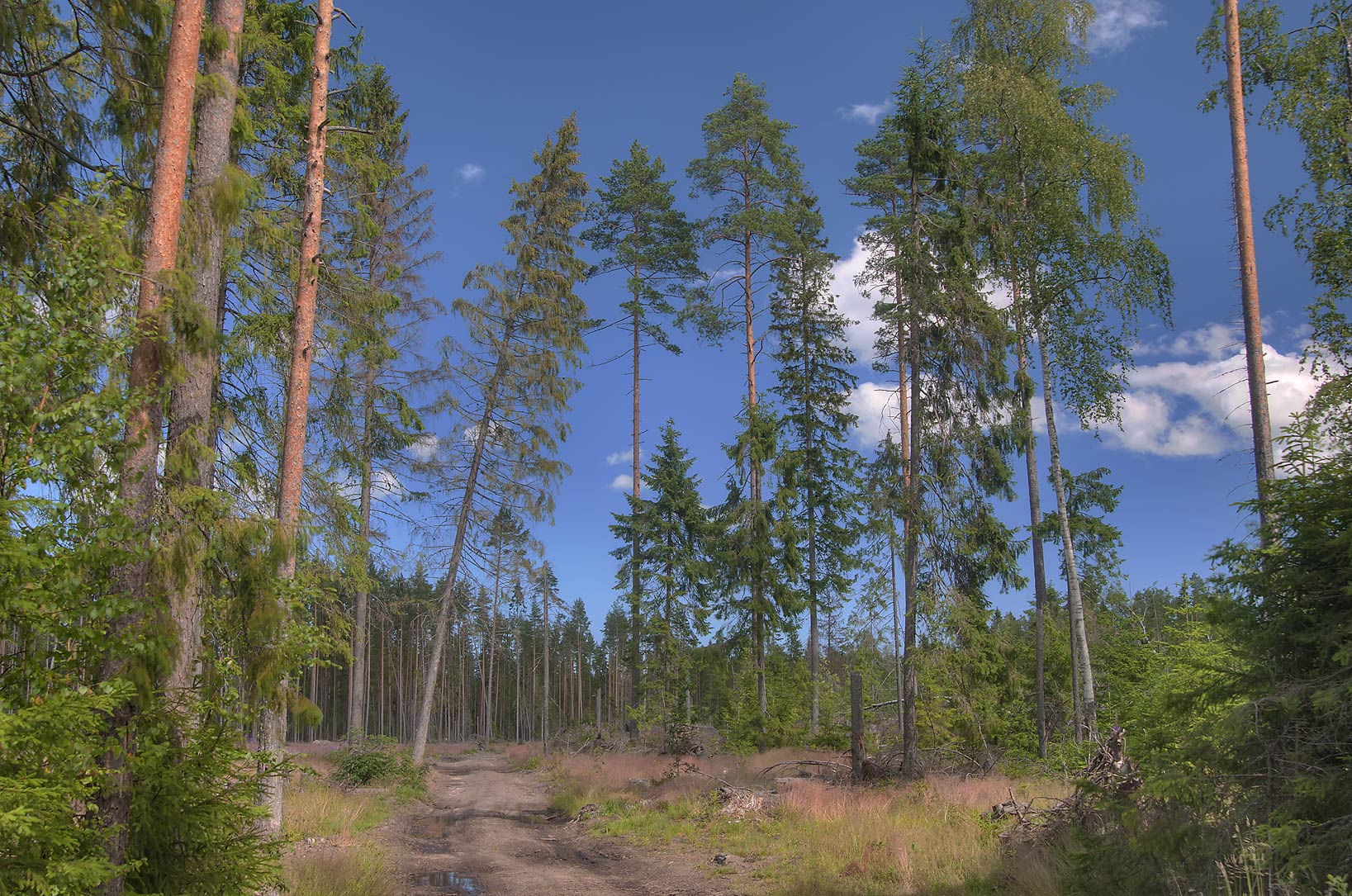 Pine forest damaged by a hurricane two years...miles north from St.Petersburg. Russia