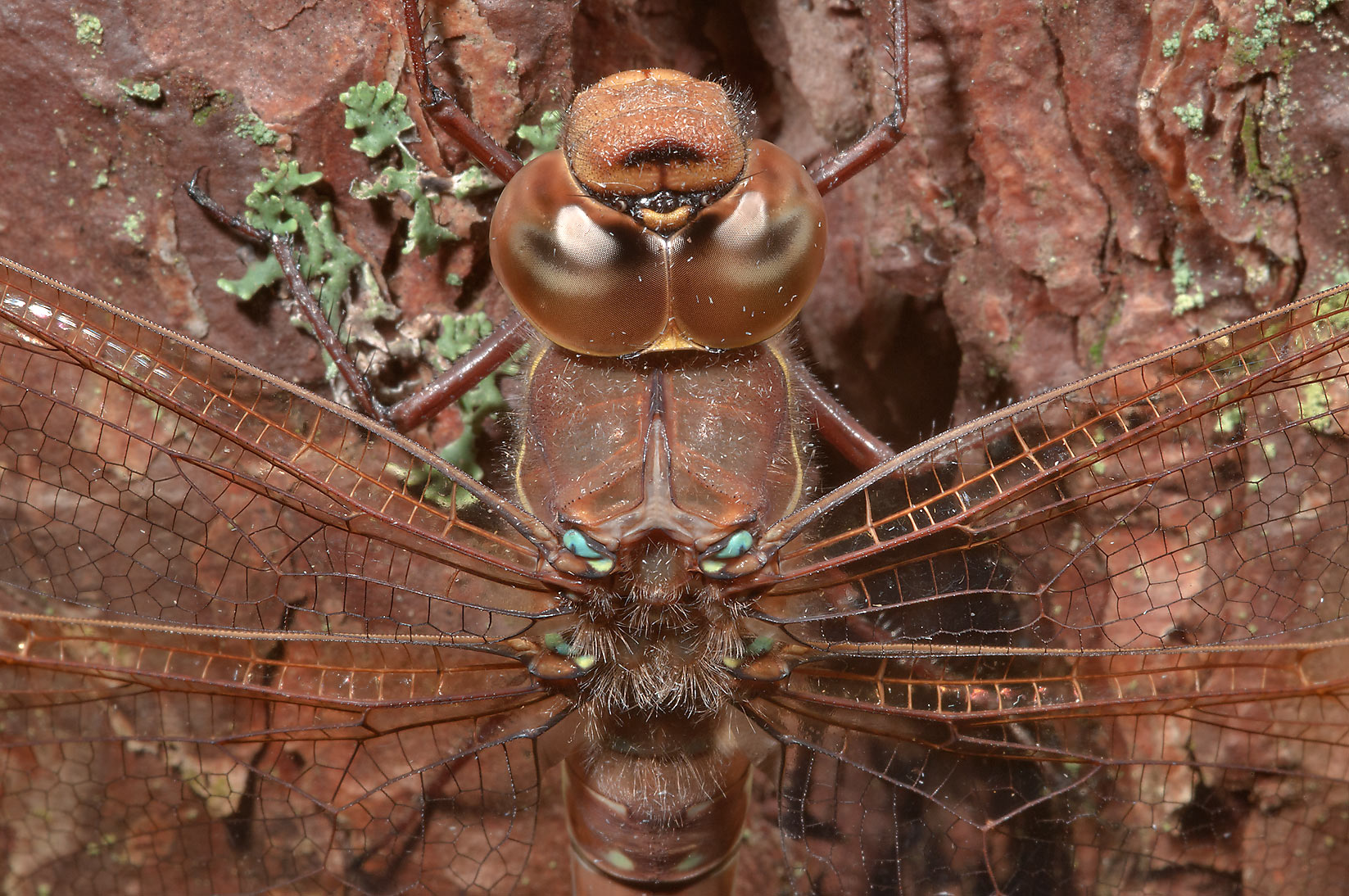 Dragonfly sleeping on a pine trunk in a forest...miles north from St.Petersburg. Russia