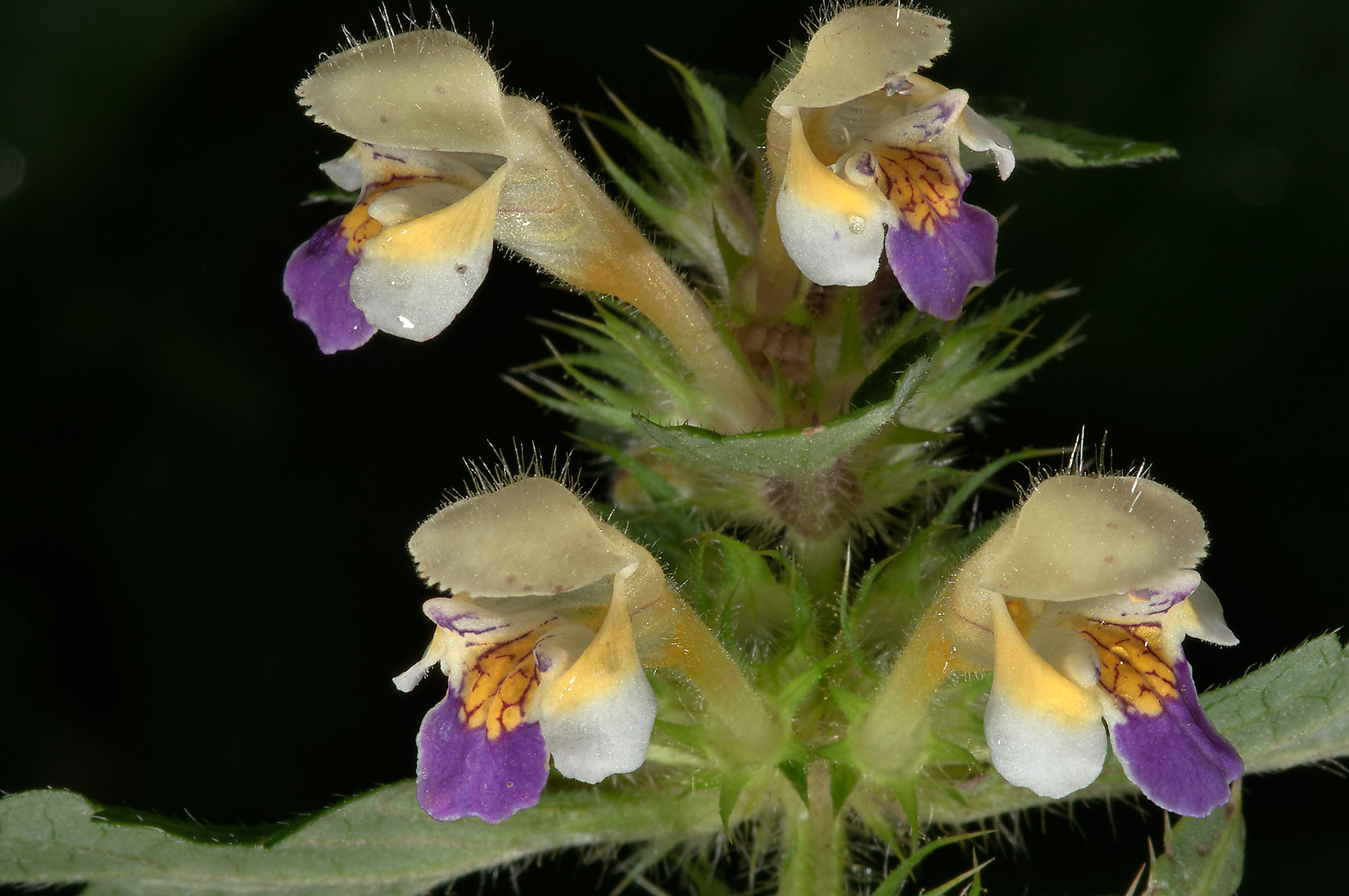 Hemp-nettle (Galeopsis speciosa, Russian name...mile north from St.Petersburg. Russia