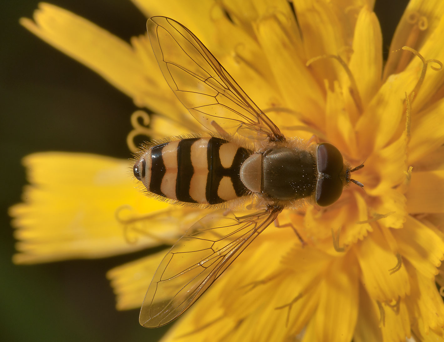 Hoverfly (Syrphidae) on yellow aster in fields...mile north from St.Petersburg. Russia