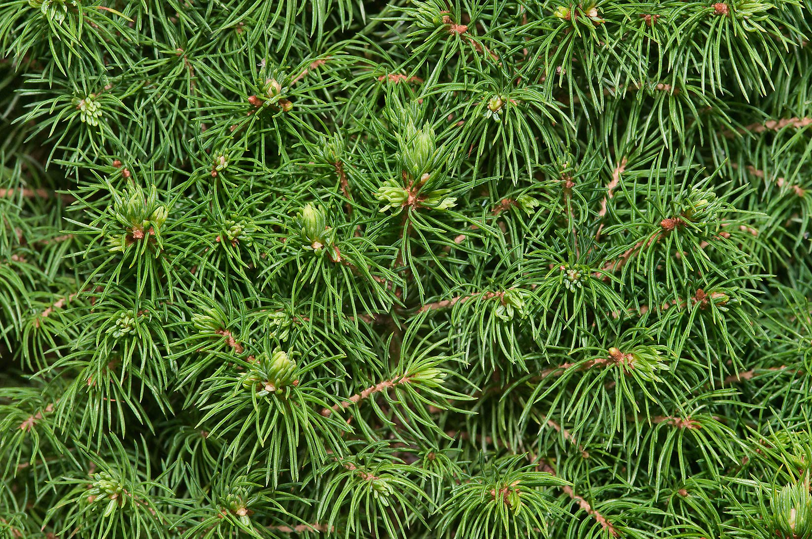 Pine needles in Botanic Gardens of Komarov Botanical Institute. St.Petersburg, Russia