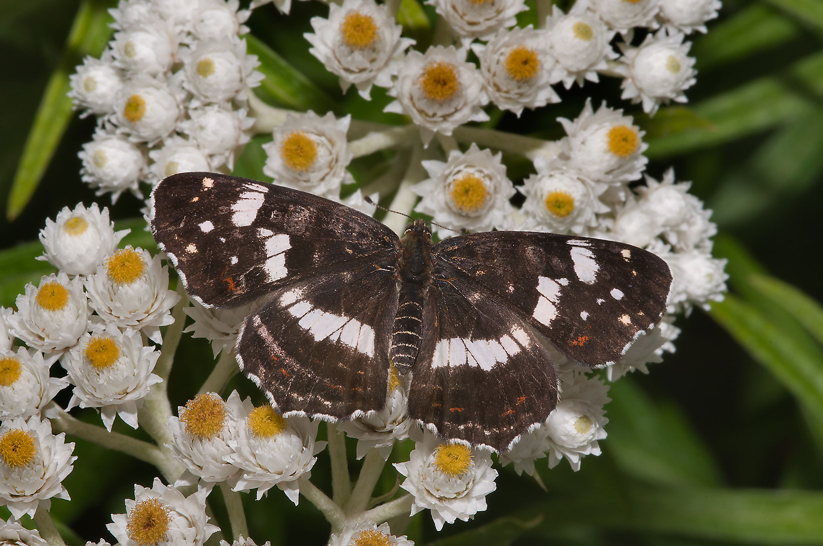 Butterfly on flowers of Pearly Everlasting...Institute. St.Petersburg, Russia