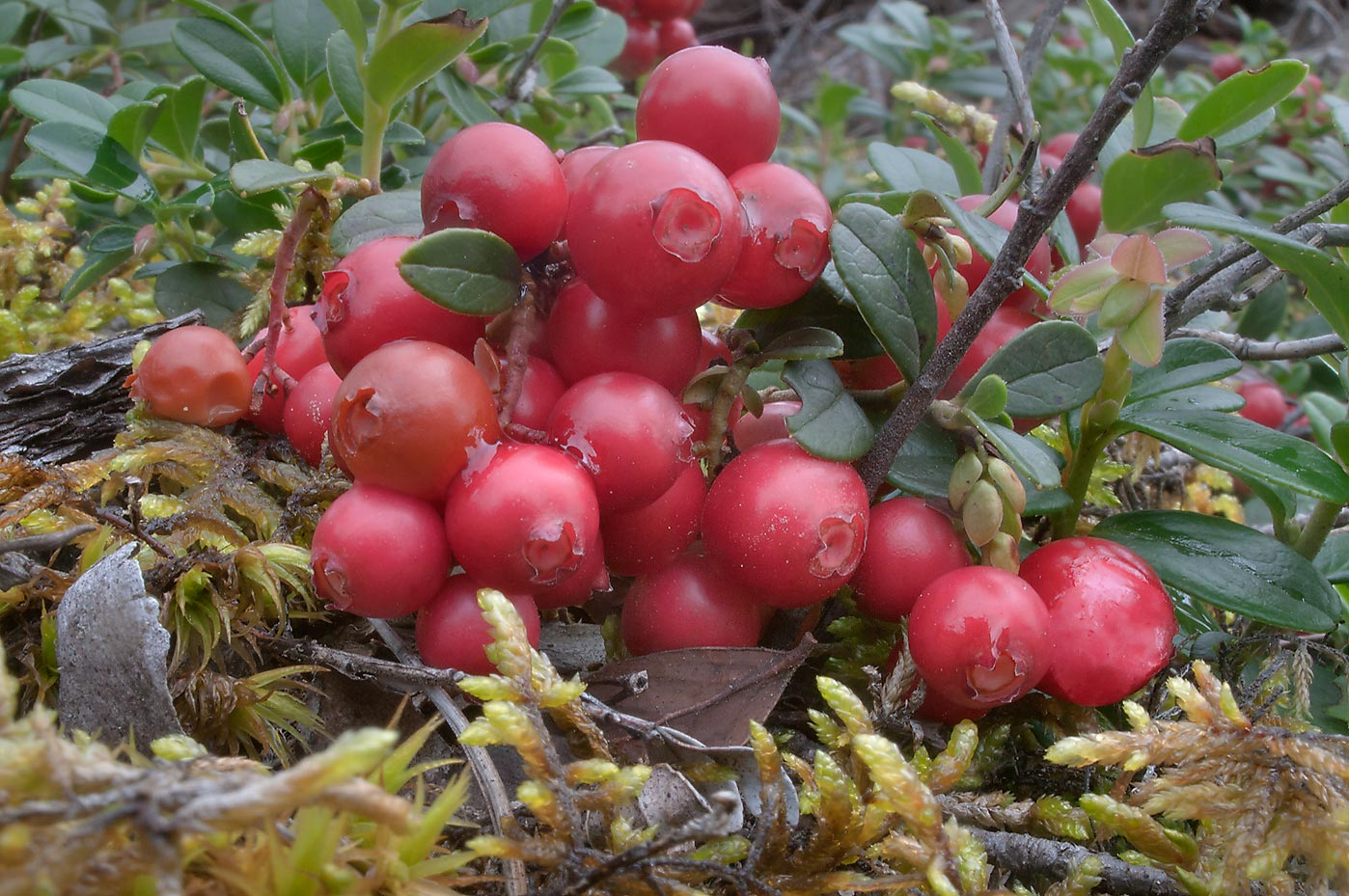 Cowberry (lingonberry, Vaccinium vitis-idaea...miles north from St.Petersburg. Russia