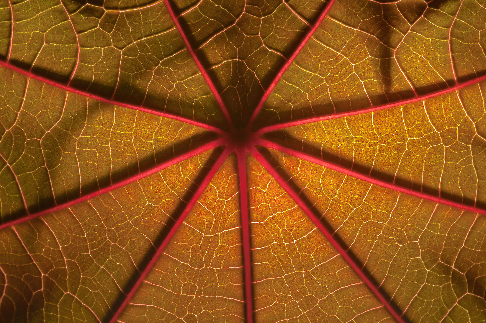 Back lit castor bean leaf in TAMU Horticultural...M University. College Station, Texas