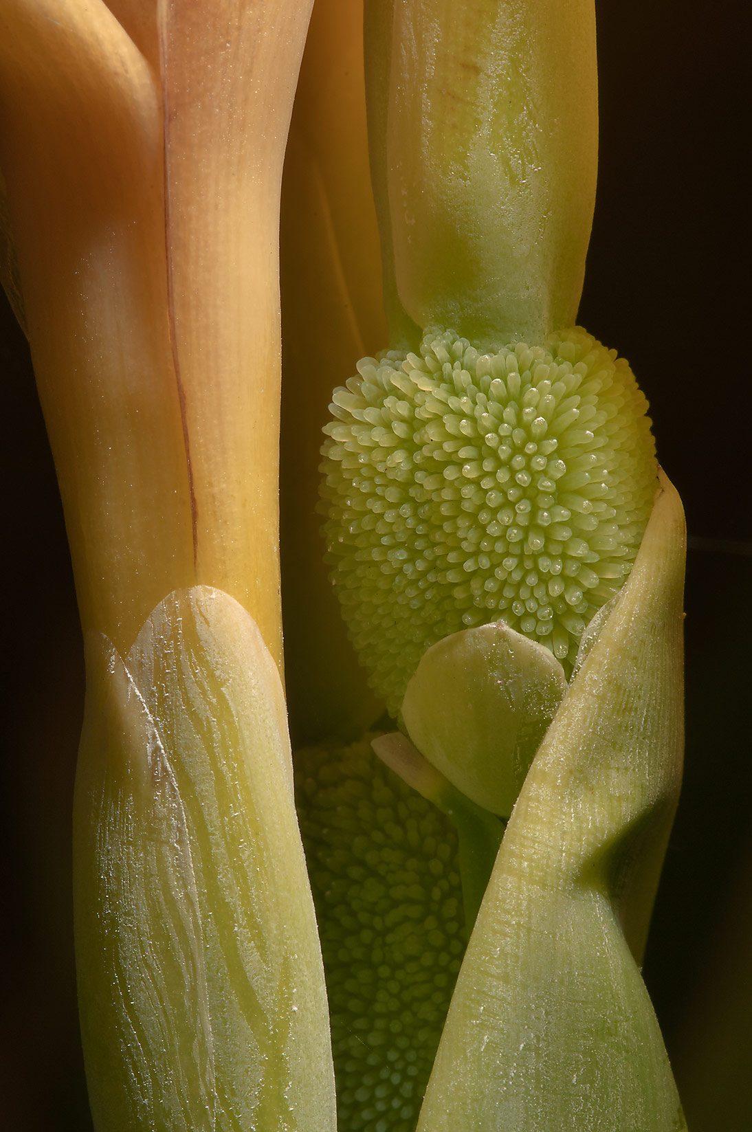 Ovary of calla in TAMU Holistic Garden in Texas A&M University. College Station, Texas