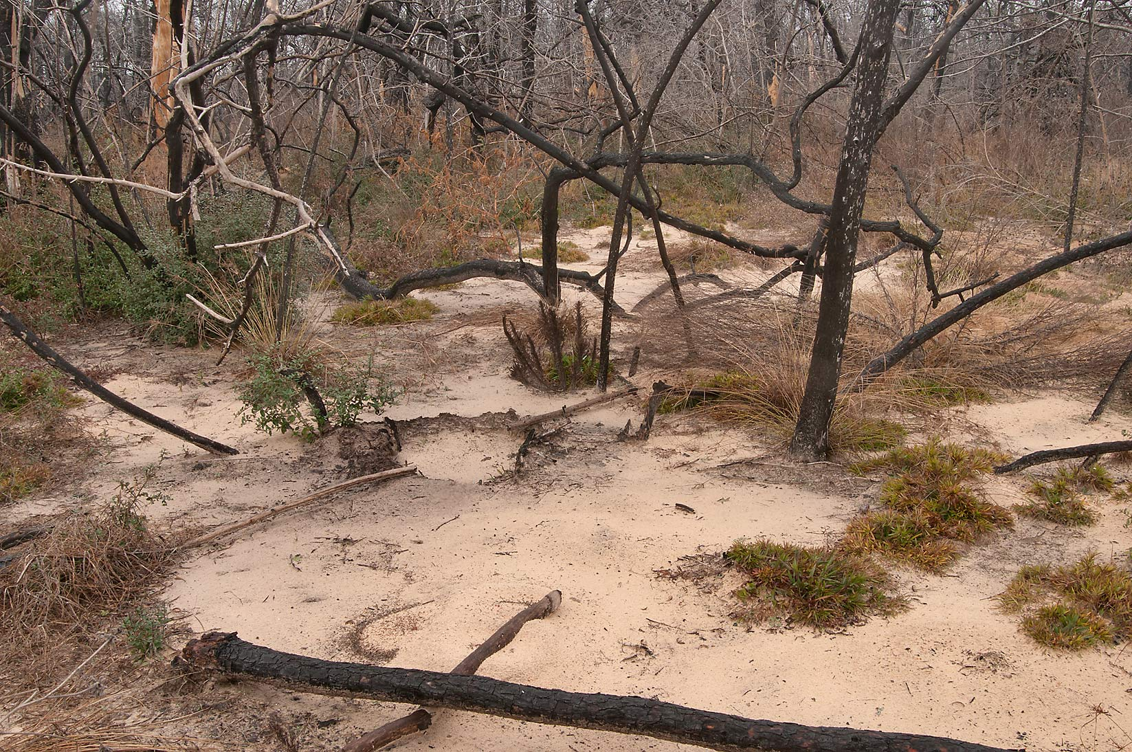 Sandy spot on Roosevelt's Cutoff Trail in Bastrop State Park. Bastrop, Texas
