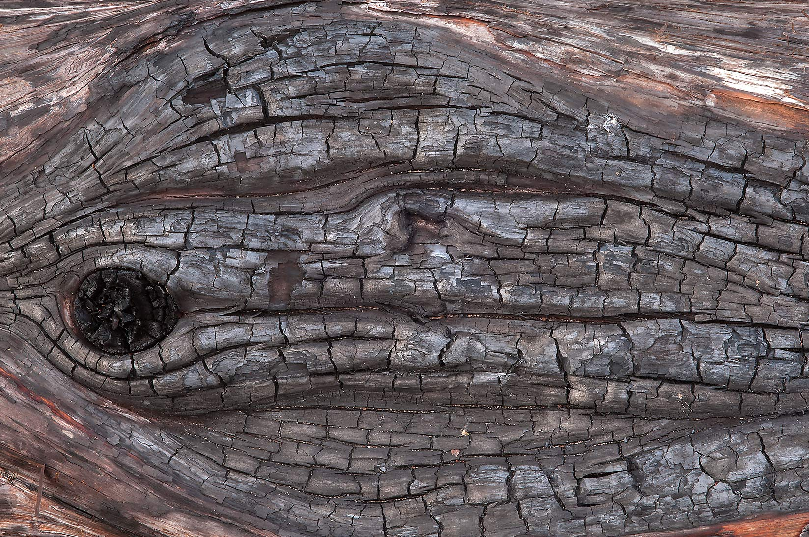 Carbonized wood in Bastrop State Park. Bastrop, Texas