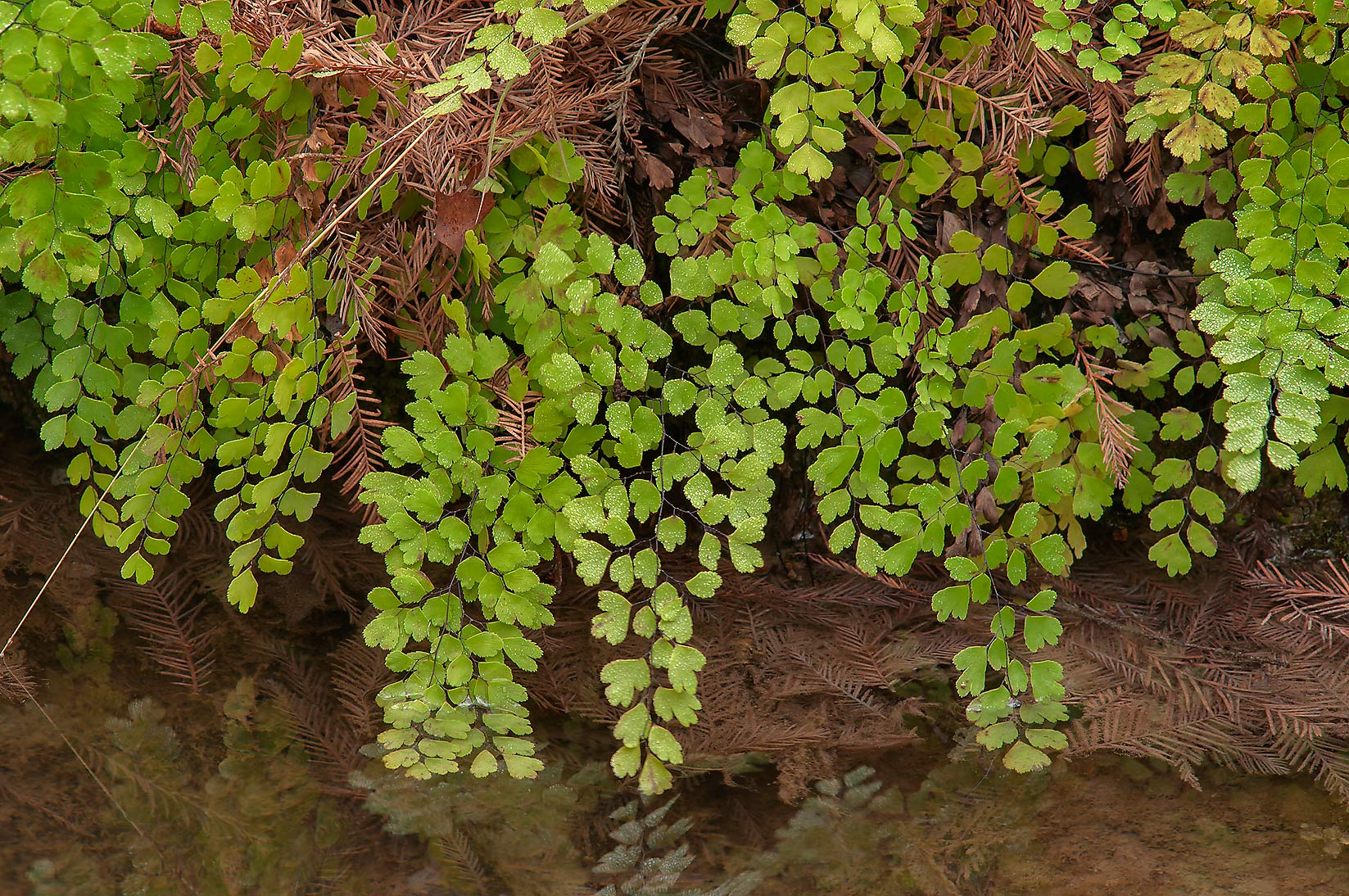 Southern Maidenhair Fern (Adiantum capillus...Pool Preserve, west from Austin. Texas