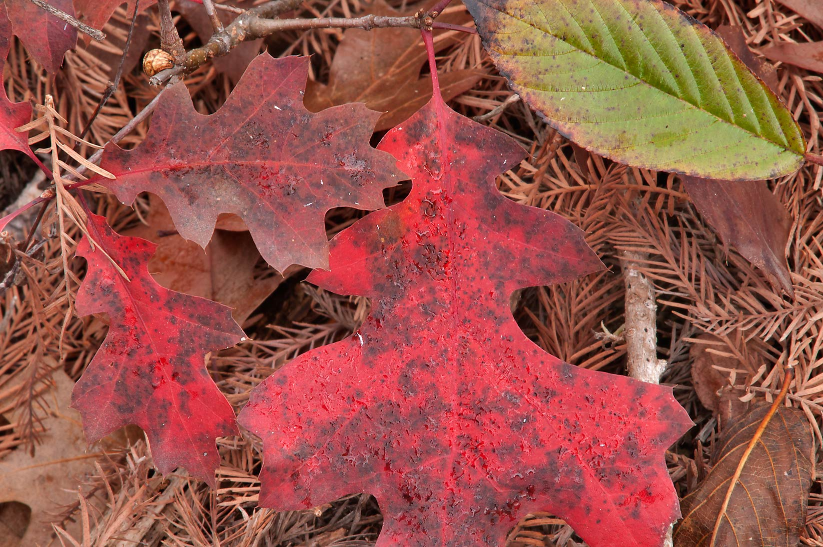 Red foliage of oak seedlings in Hamilton Pool Preserve, west from Austin. Texas