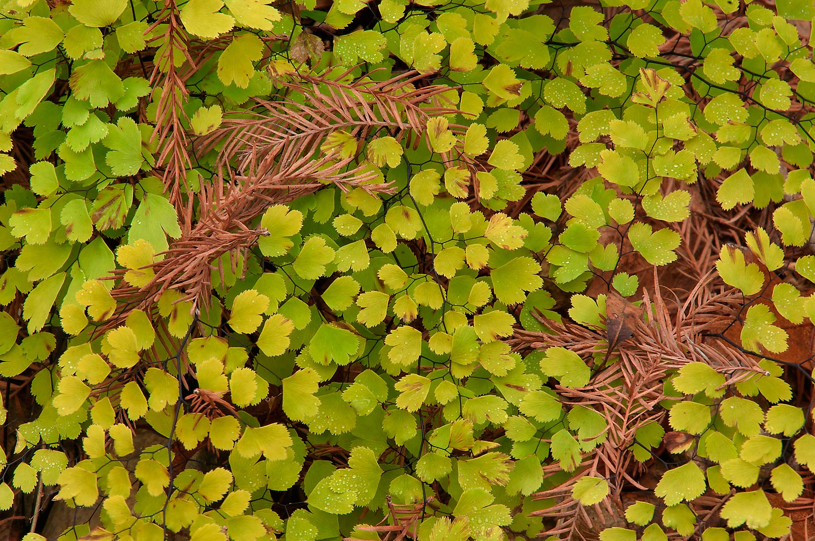 Leaves of Southern Maidenhair Fern (Adiantum...Pool Preserve, west from Austin. Texas