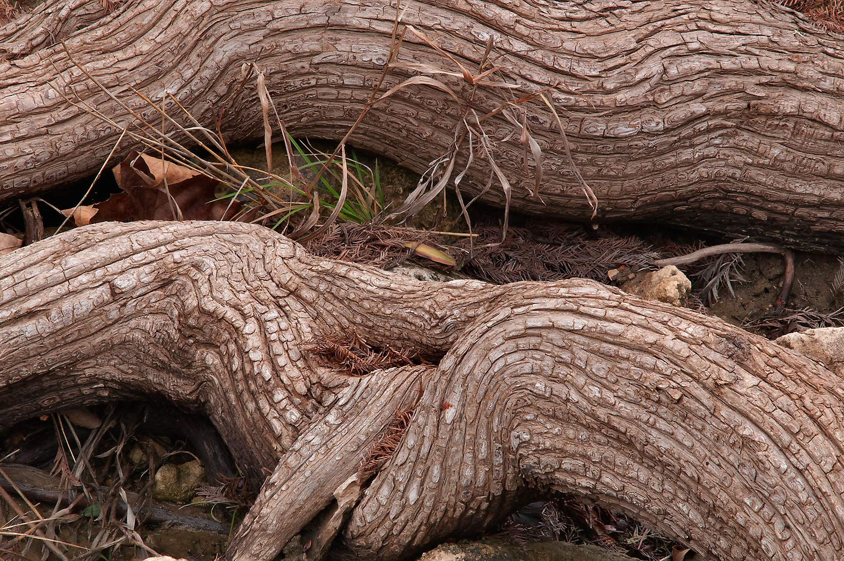 Alligator skinned cypress roots in Pedernales Falls State Park. Johnson City, Texas