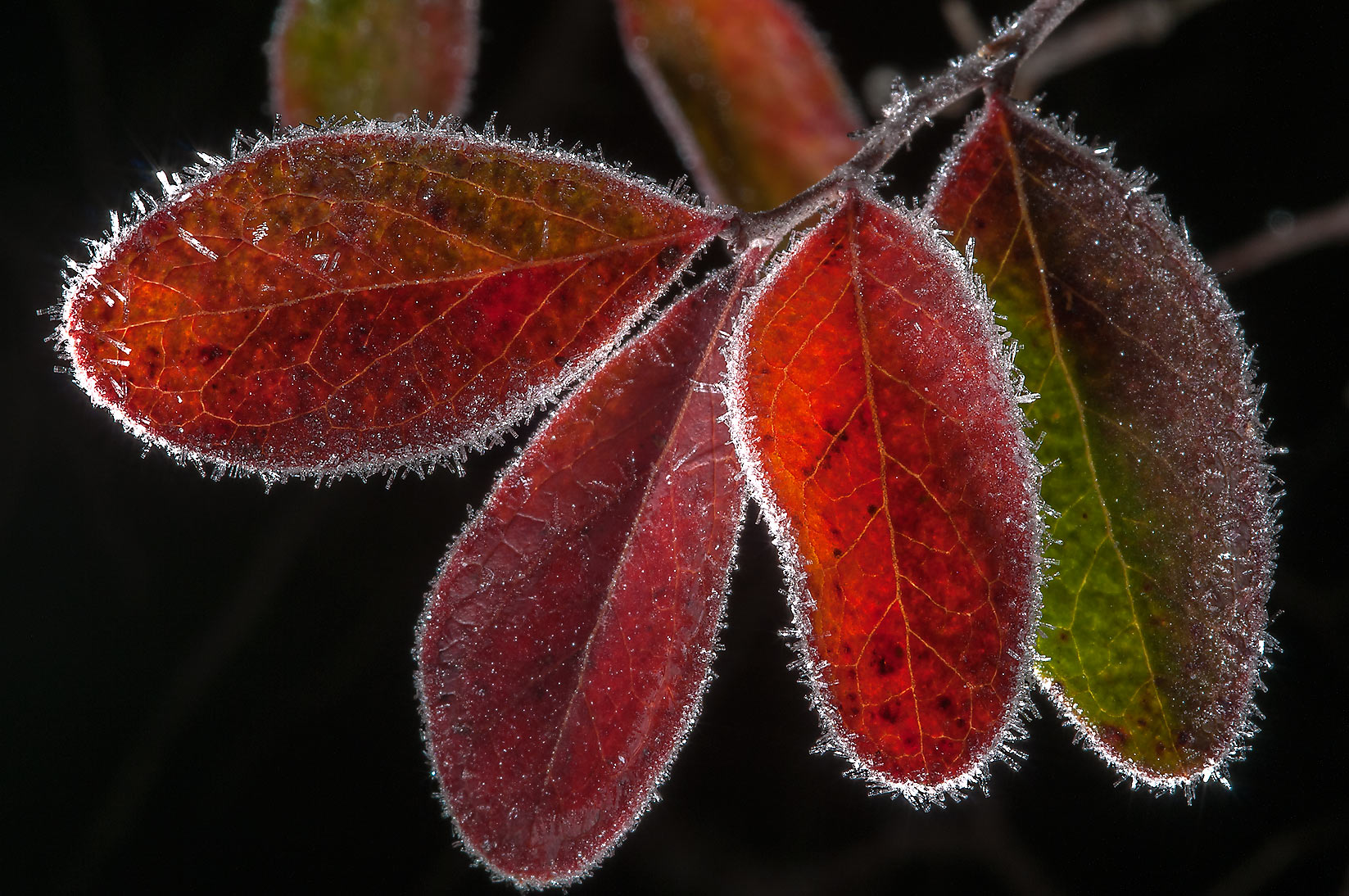 Frost rimmed leaves of farkleberry (Vaccinium...Creek Park. College Station, Texas