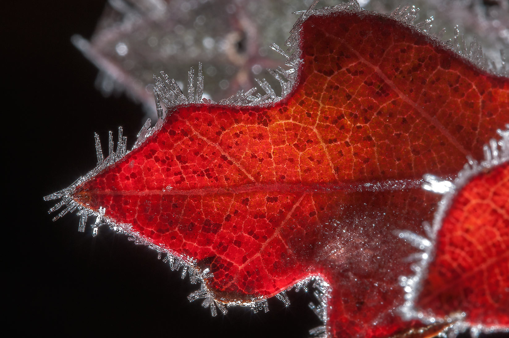 Frost rimmed red leaf of oak in Lick Creek Park. College Station, Texas