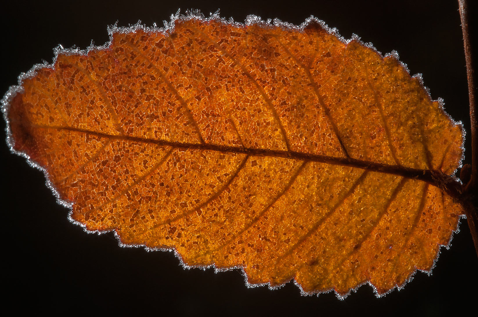 Back lit elm leaf in Lick Creek Park. College Station, Texas